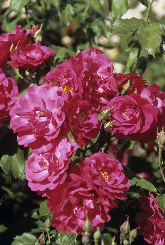 Rosa 'Will Scarlet' flowers