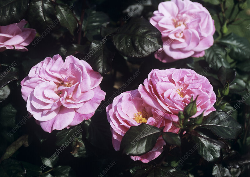 Rosa 'Colchester Beauty' flowers