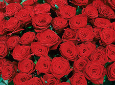 Red roses (Rosa sp.)