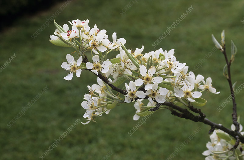Pear blossom (Pyrus 'Black Worcester')