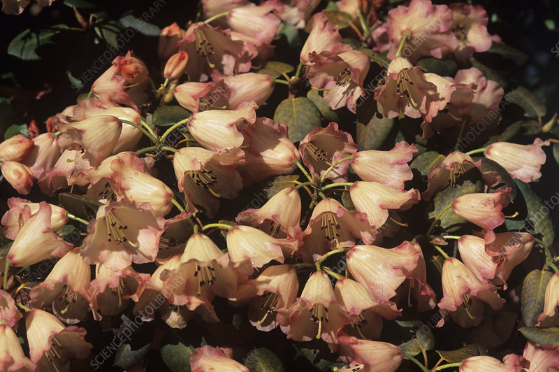 Rhododendron 'Varna' flowers