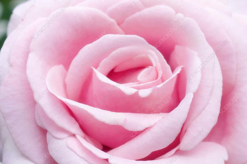 rose rosa 39 frederic mistral 39 stock image b760 1625. Black Bedroom Furniture Sets. Home Design Ideas