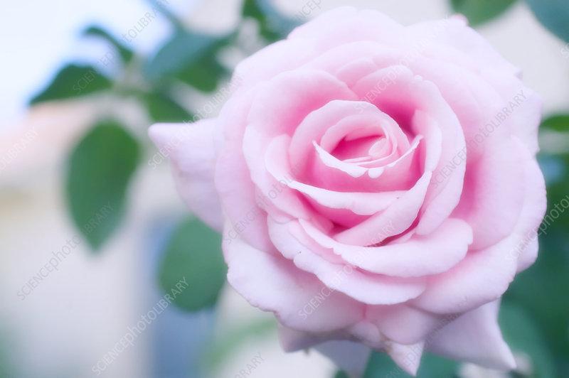 rose rosa 39 frederic mistral 39 stock image b760 1626. Black Bedroom Furniture Sets. Home Design Ideas