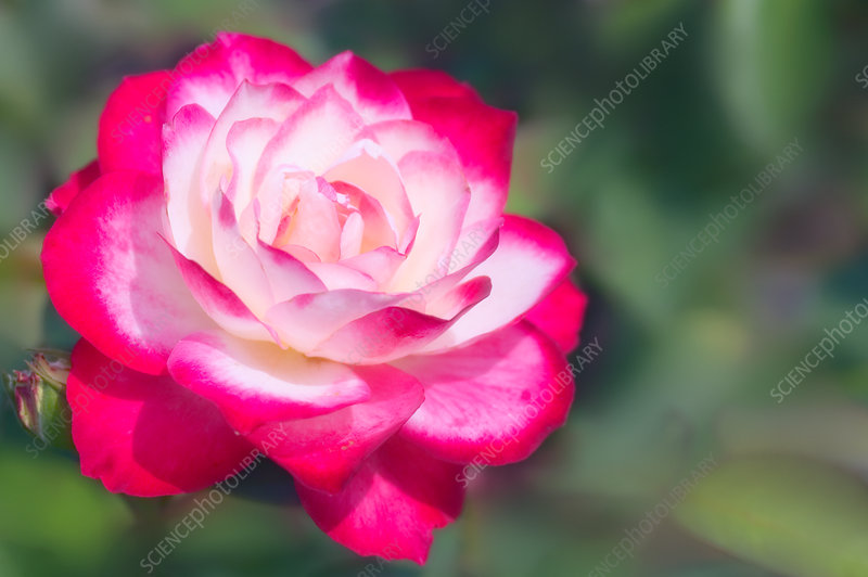 Rose (Rosa 'Double Delight')