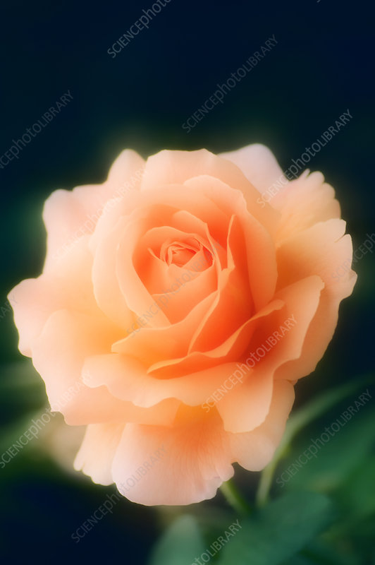 Apricot rose (Rosa sp.)