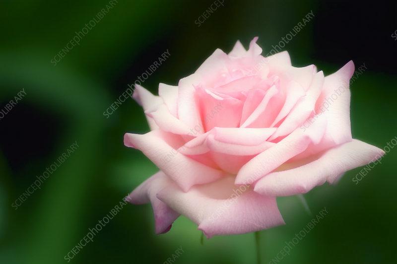 rose rosa 39 frederic mistral 39 stock image b760 1644. Black Bedroom Furniture Sets. Home Design Ideas