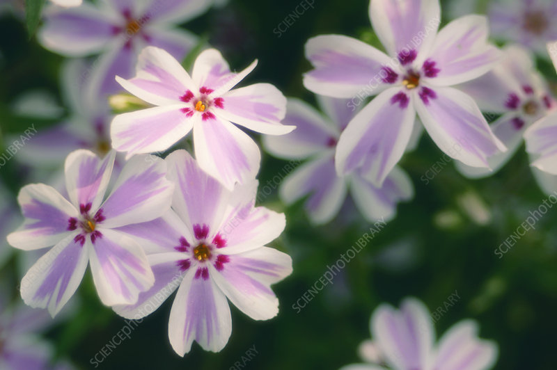 Creeping phlox (Phlox subulata)