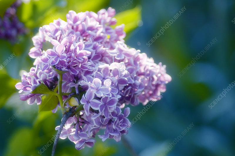 Common lilac (Syringa 'Sensation')
