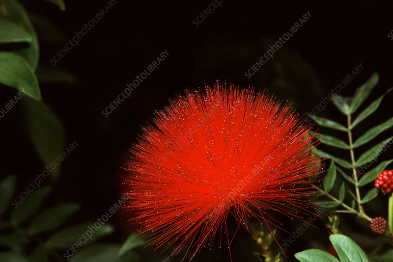 Red Powder Puff