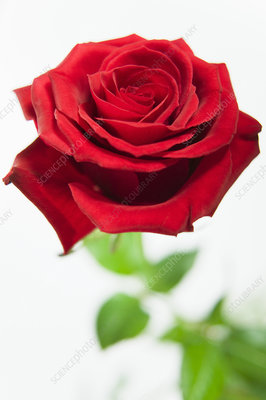 Red rose (Rosa sp.)