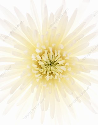 Chrysanthemum (Chrysanthemum sp.)