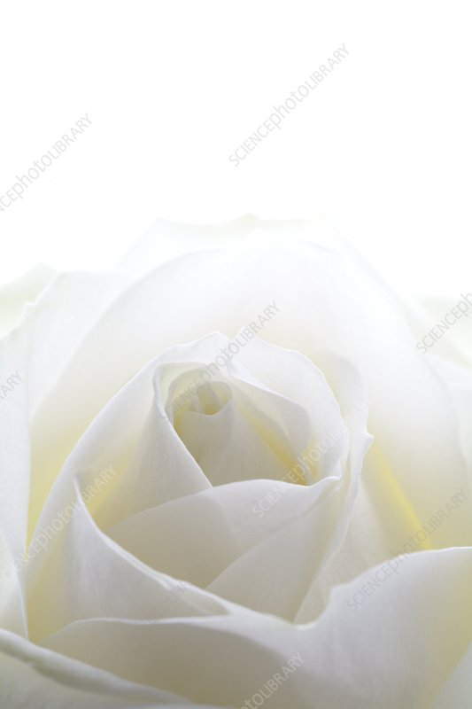 White rose (Rosa sp.)