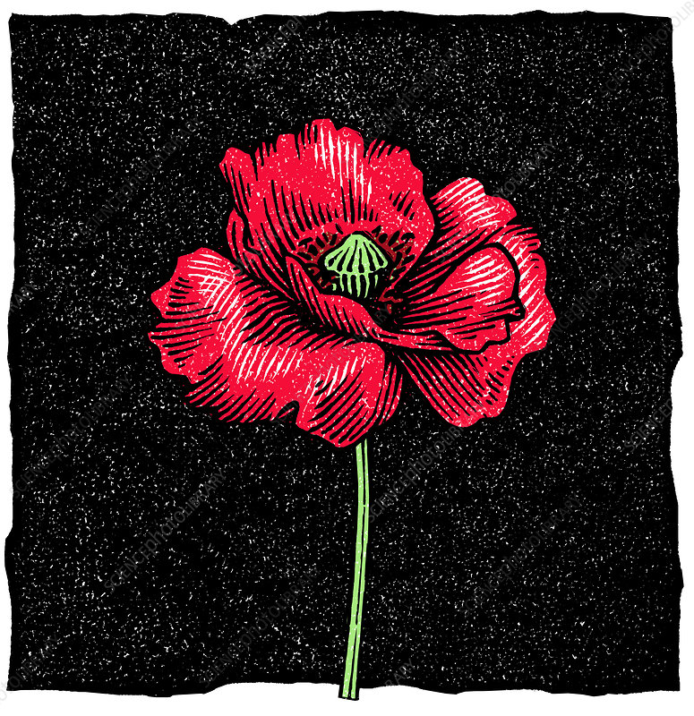 Poppy flower, woodcut