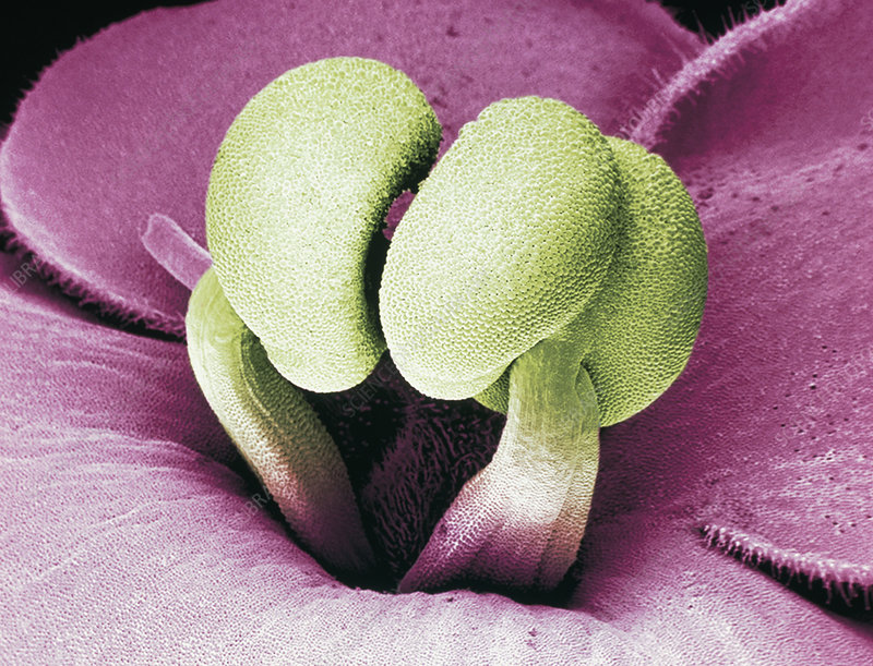 Flower stamens of an African violet