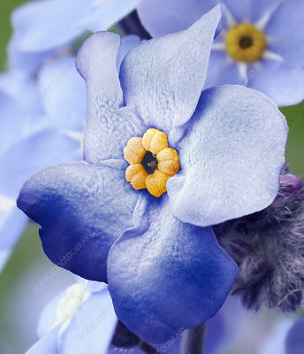 Forget-me-not flower, SEM