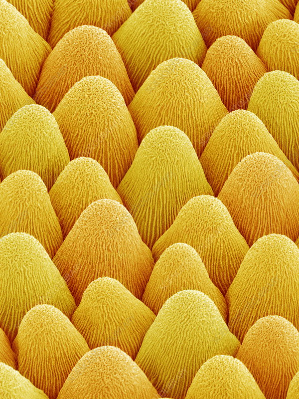 Flower bract surface, SEM