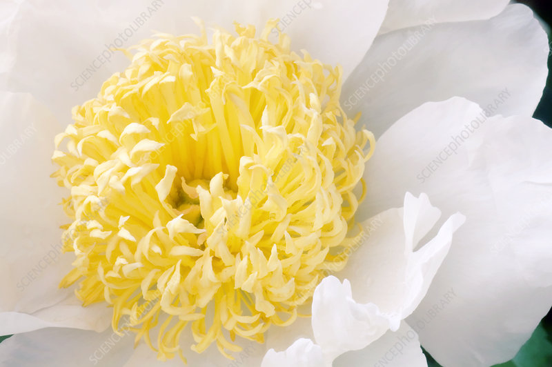Peony (Paeonia 'White Bowl of Beauty')
