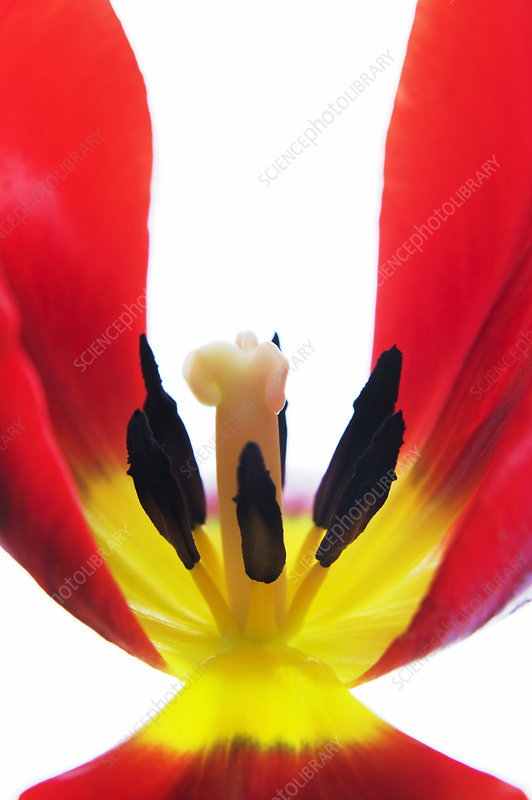Tulip's reproductive structures
