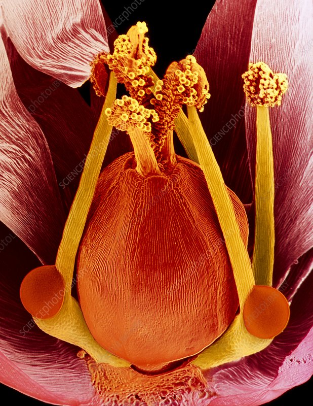 SEM of chickflower