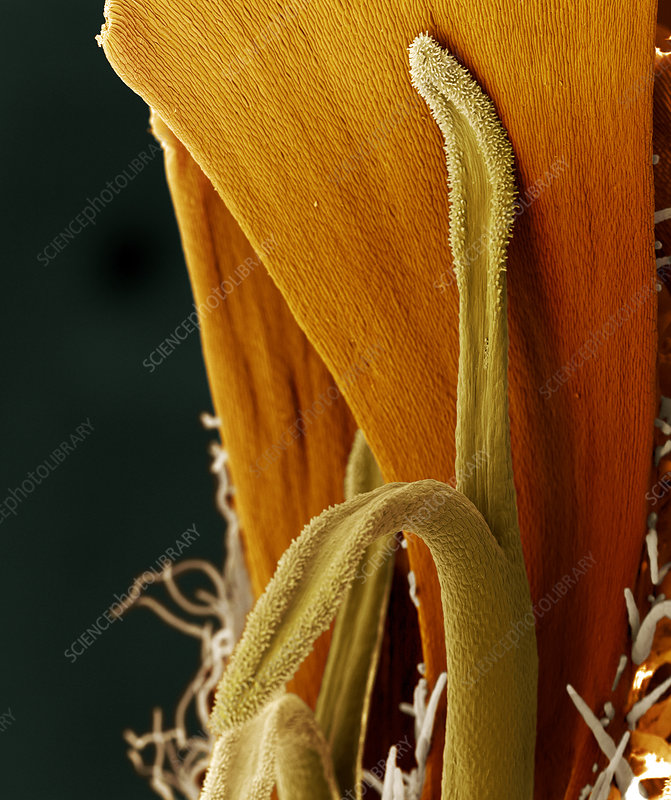 Pistil of a marigold flower