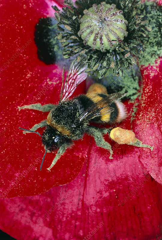 Bumblebee gathering pollen from poppy