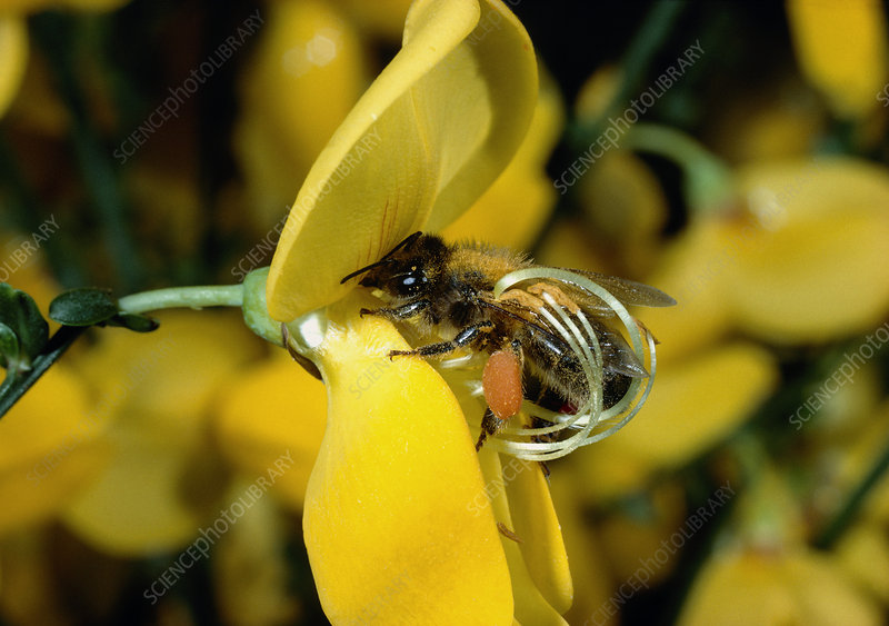 Pollination of Spartium flower by a bee