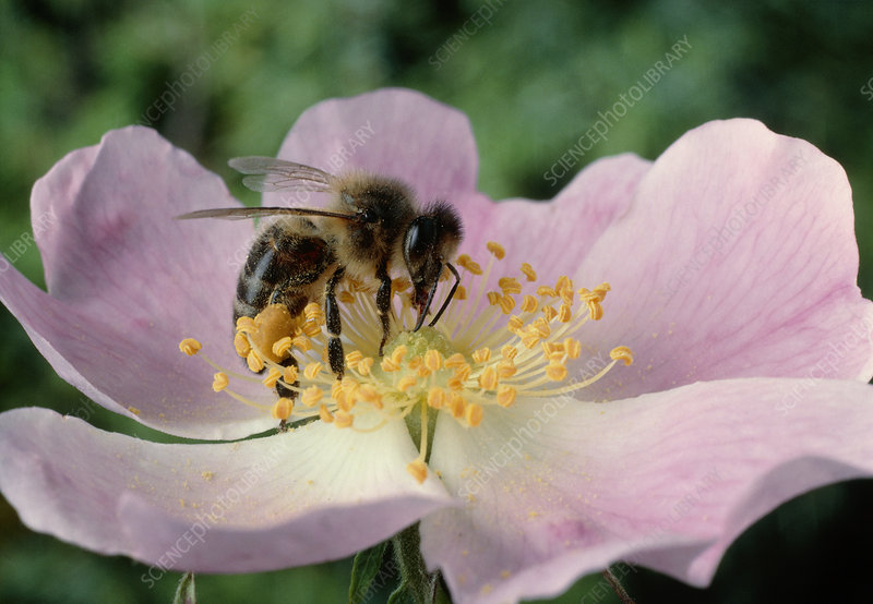 Worker bee pollinating a sweetbriar flower