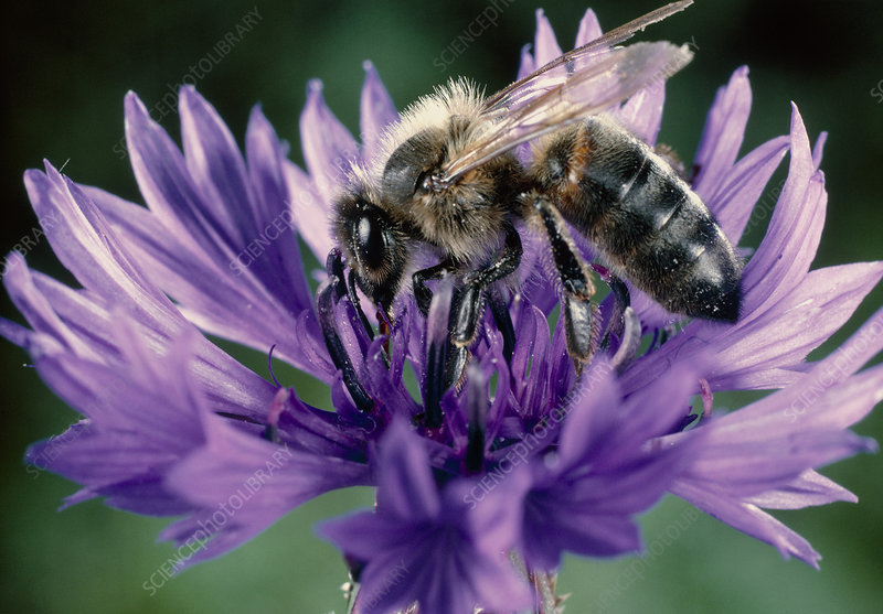 Bee pollination of a Cornflower