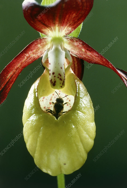 Lady-slipper orchid pollinated by a bee