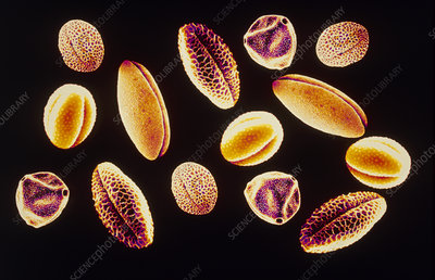 Coloured SEM of various pollen grains