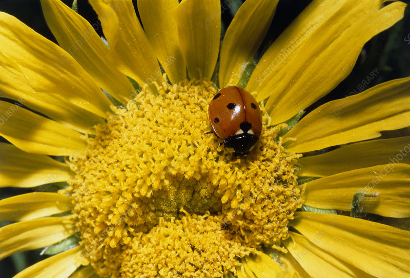 Ladybird pollinating a sunflower