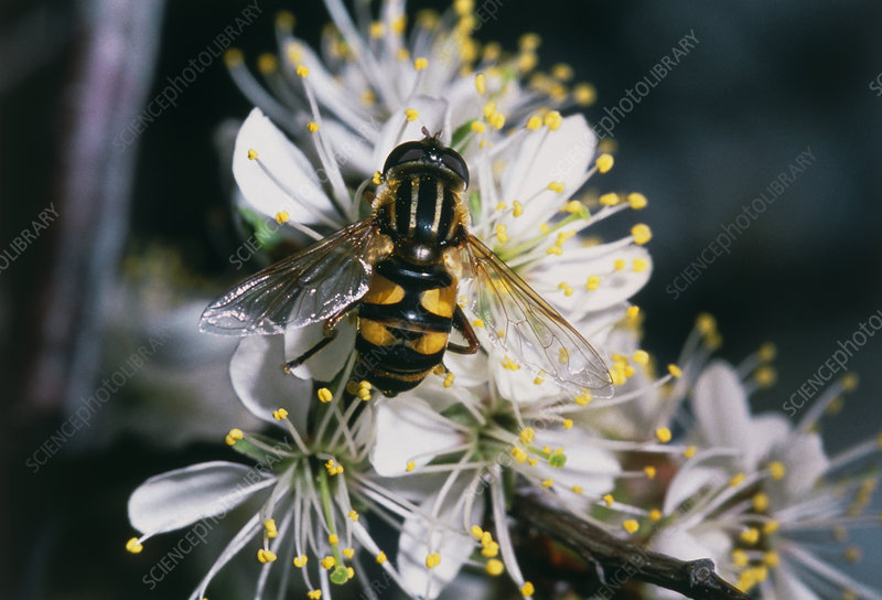 Hover fly pollinating American plum