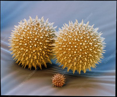 Hollyhock pollen grains