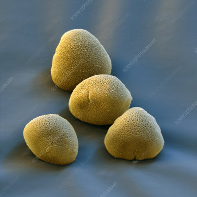 Lime pollen grains