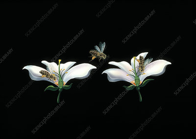 Bee pollination