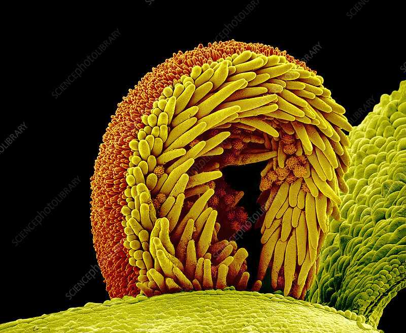Sunflower pollination, SEM