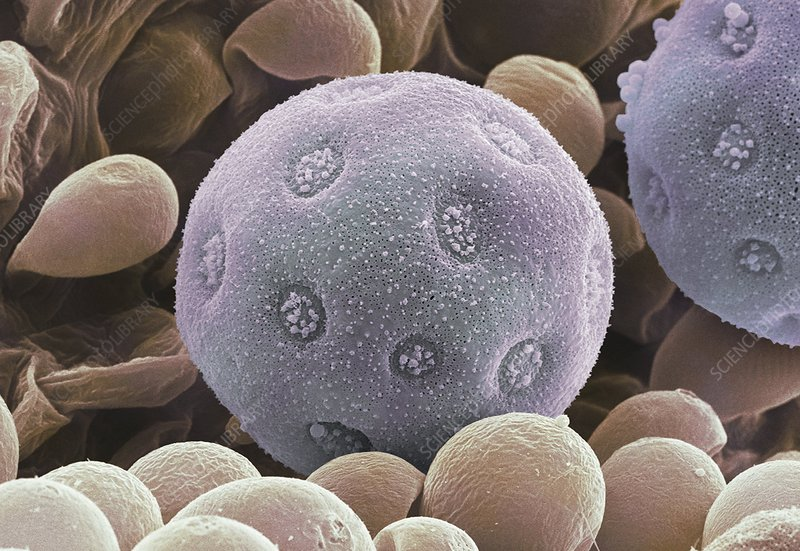 Bindweed pollen grains, SEM