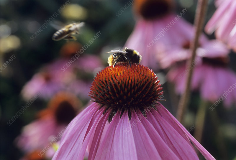 Bumble bee on a coneflower