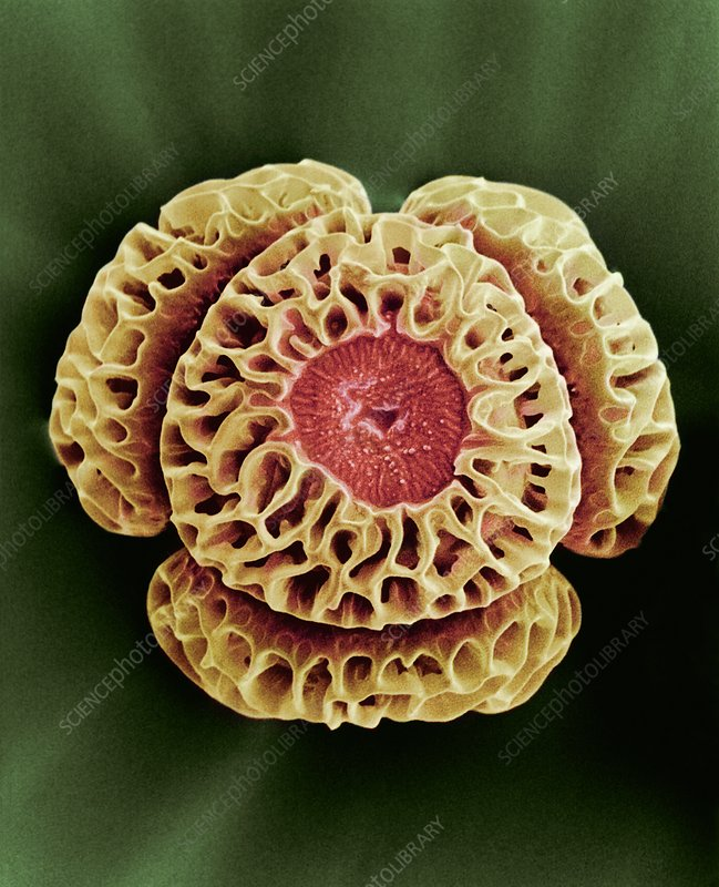 Winter's bark (Drimys winteri) pollen,SEM