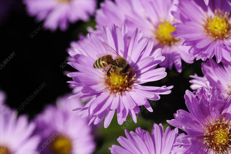 Bee pollinating an aster flower