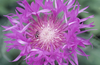 Hoverfly pollinating a centaurea flower