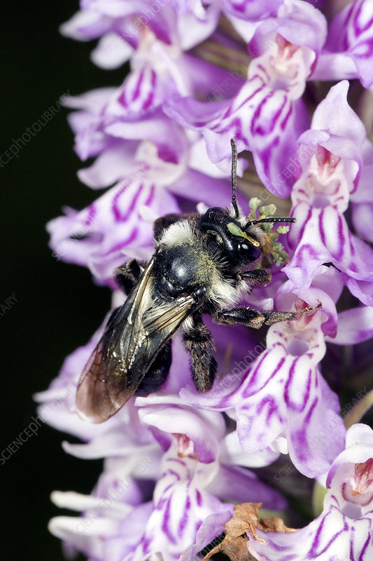 Bee pollinating a common-spotted orchid