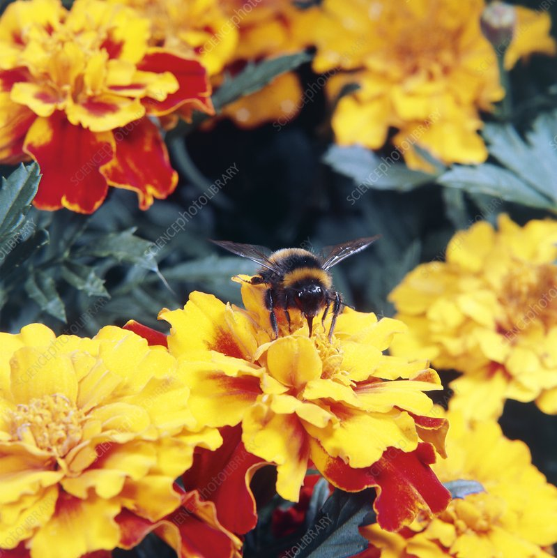 Bumble bee pollinating Marigold flower