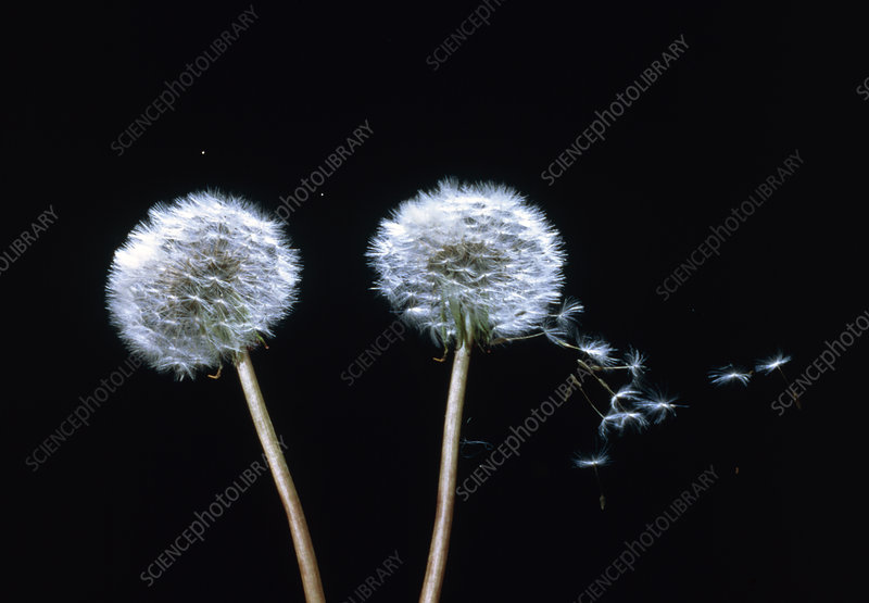 High-speed photo of wind dispersal of seeds