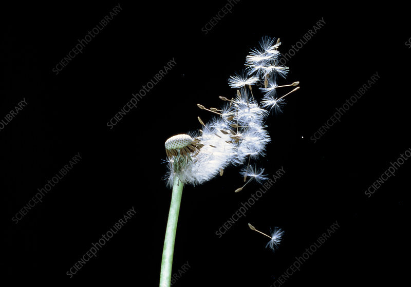 Dispersal by wind of Dandelion seeds