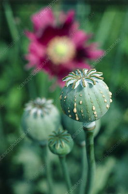 Collecting opium from poppy seed capsule