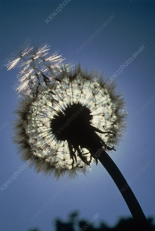 Seed head of a dandelion flower