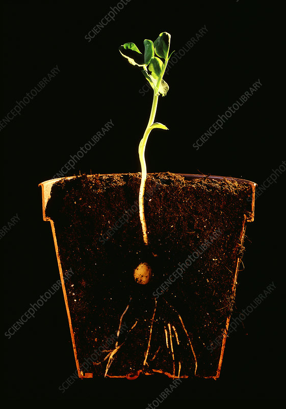 Seedling of the pea Pisum Sativum