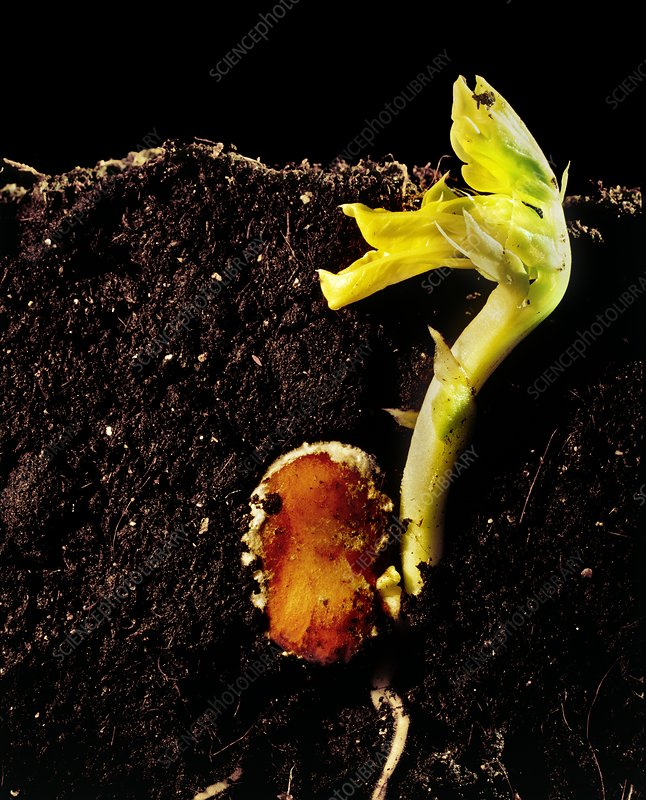 Germination of a broad bean seed