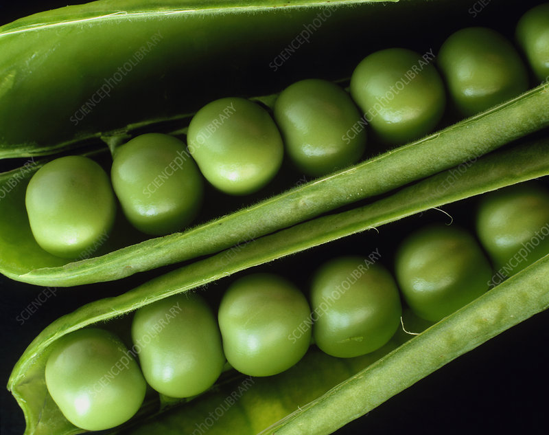 Two open pea pods